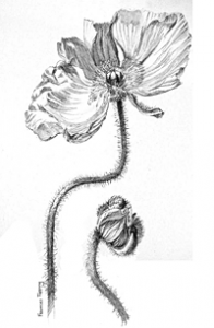 Poppy Drawing by Frances Topping